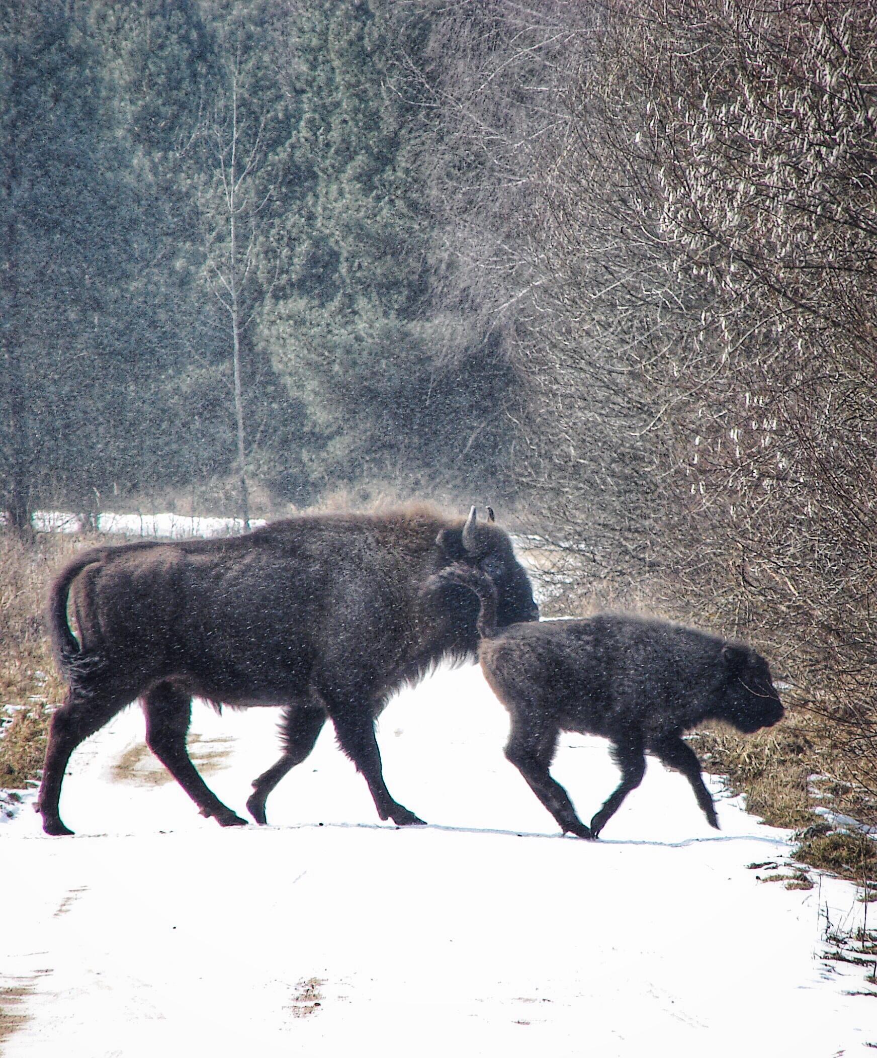 Ochrona żubrów w Polsce