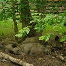 dziki Park Pokazowy Żubrów puszcza białowieska