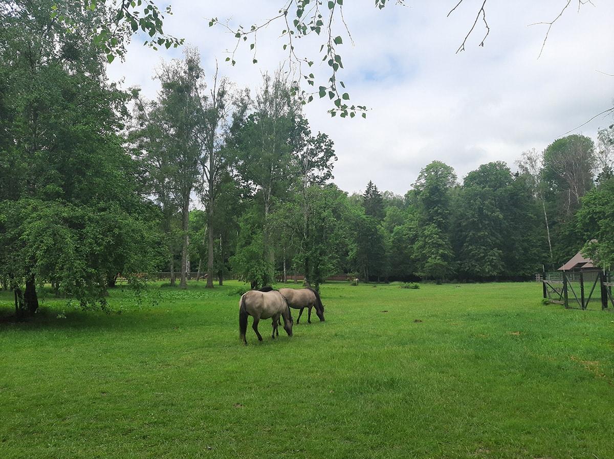 Koniki polskie w parku pokazowym żubrów