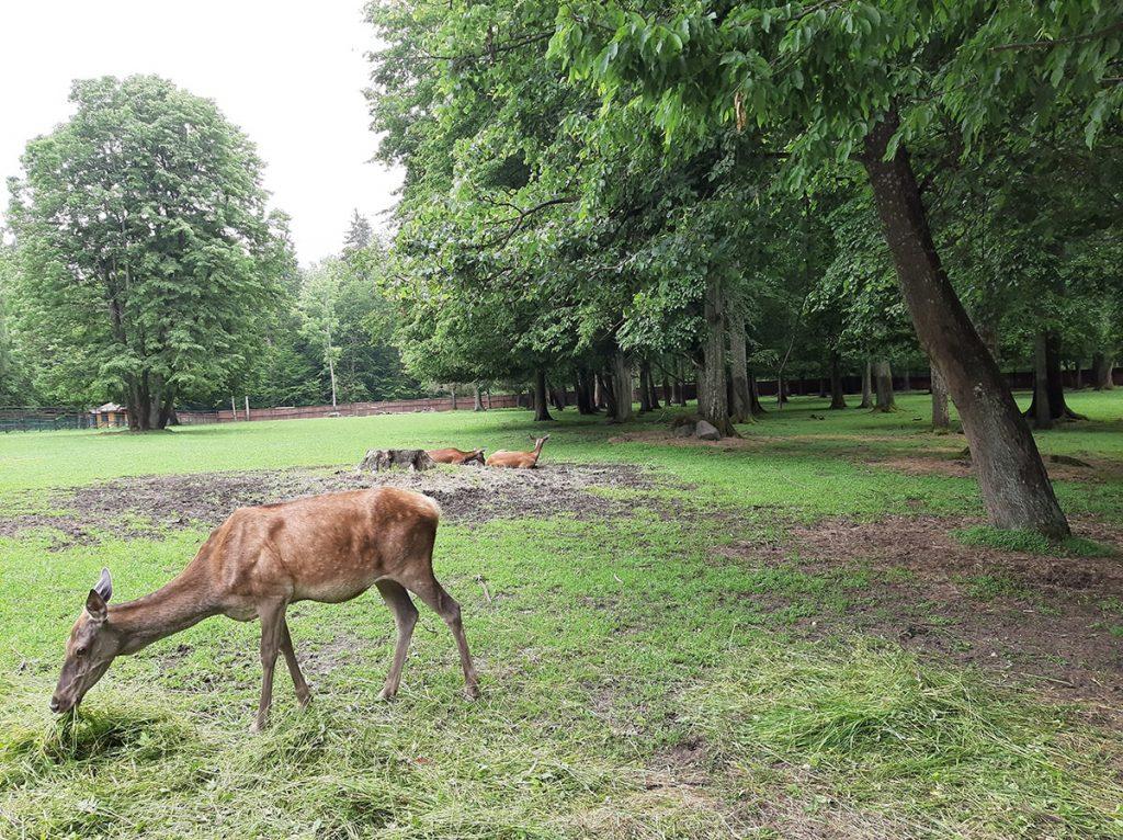 Łanie pokazowy Park Żubrów