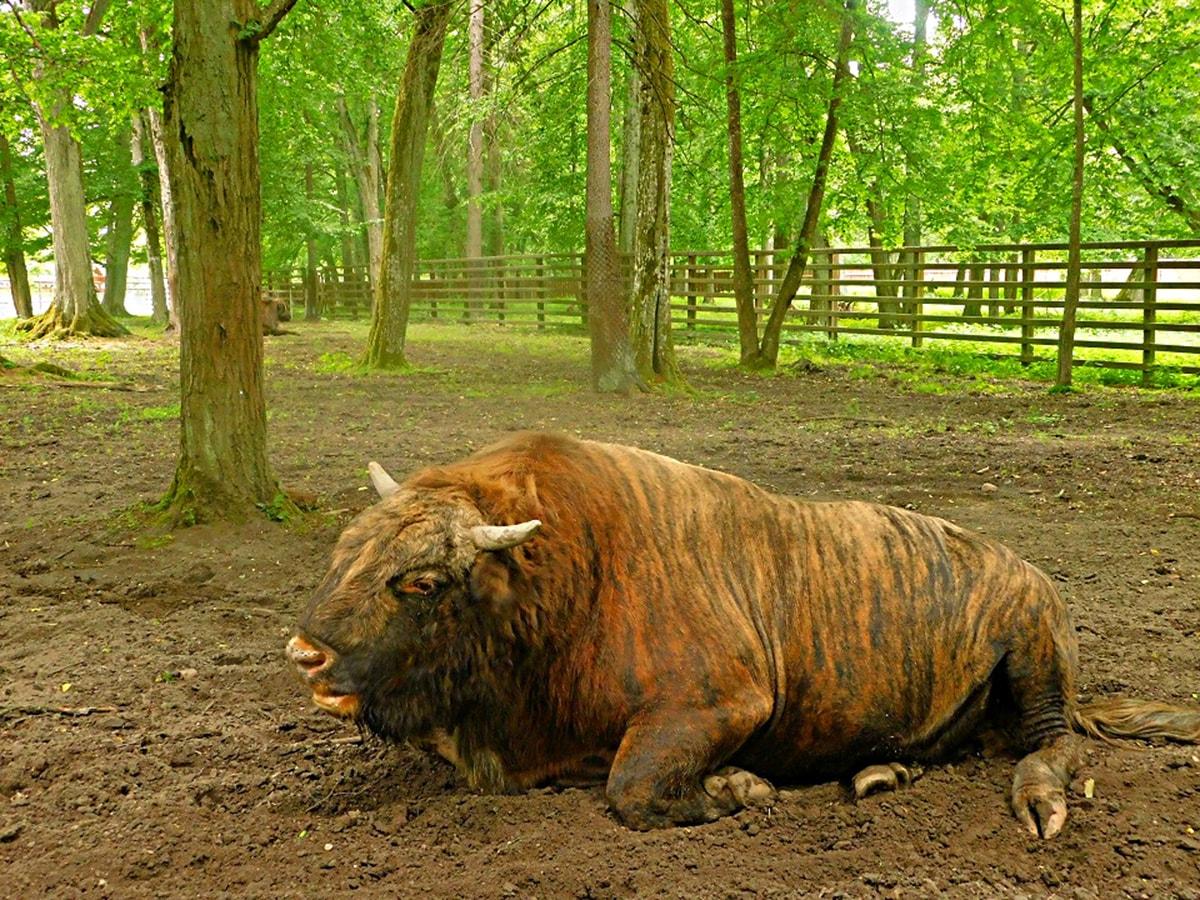 żubroń Park pokazowy żubrów w białowieży