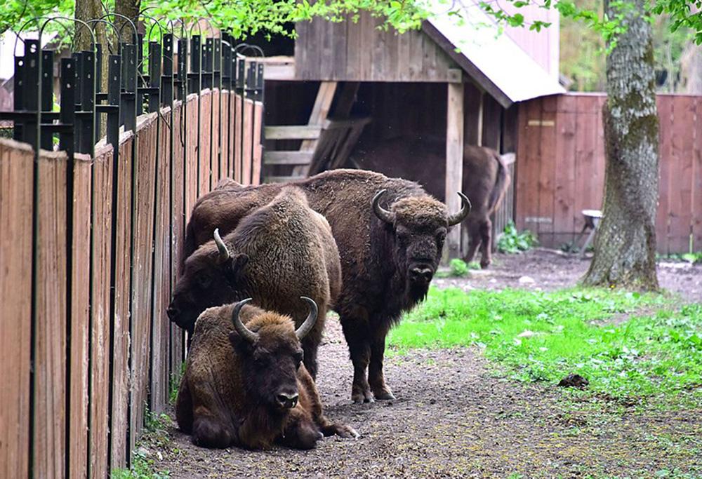 Żubr w parku pokazowym zwierząt w Białowieży